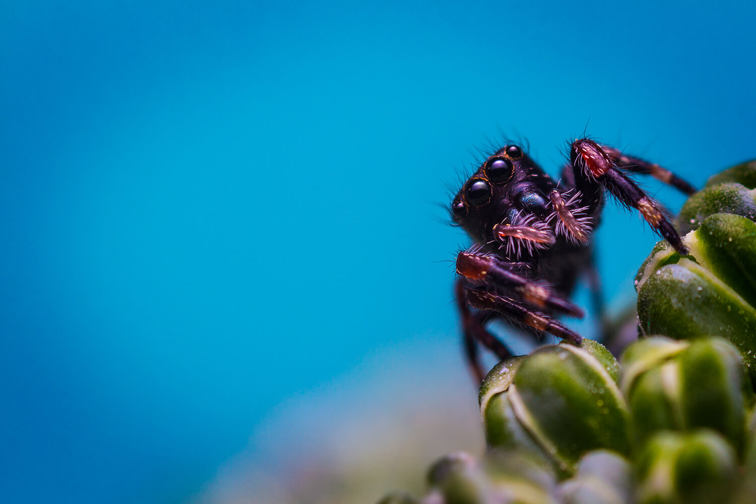 Baby regal jumping spider by Stewart Wood