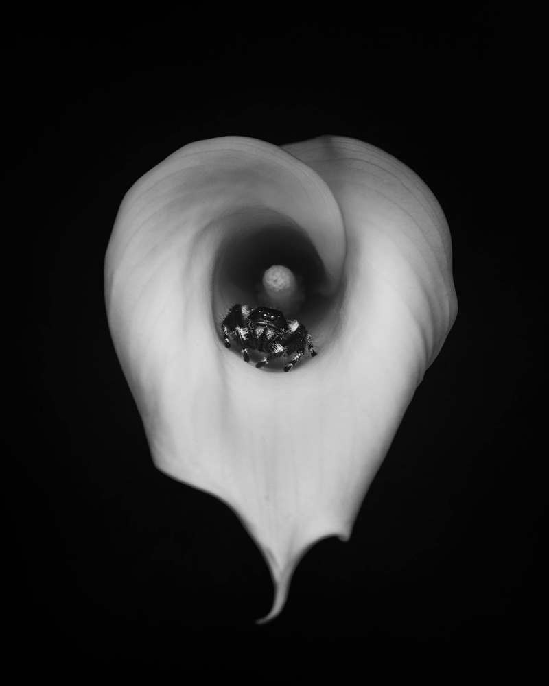 Spider on a calla lily by Stewart Wood