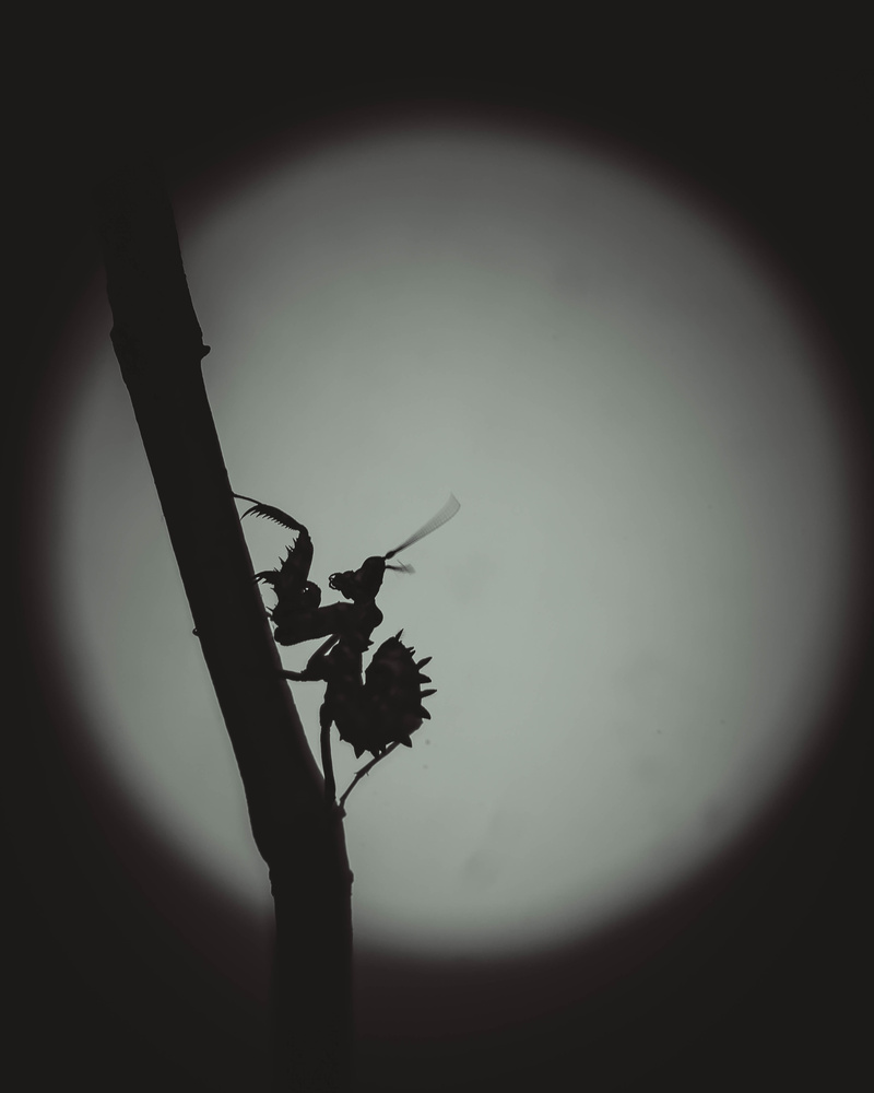 Spiny flower mantis by Stewart Wood