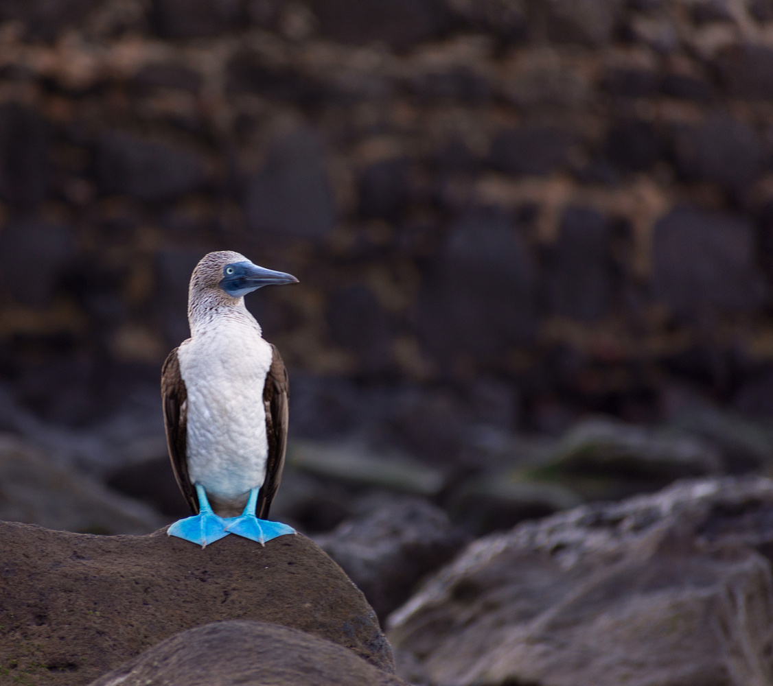 Blue Footed Boobie by james` yakscoe