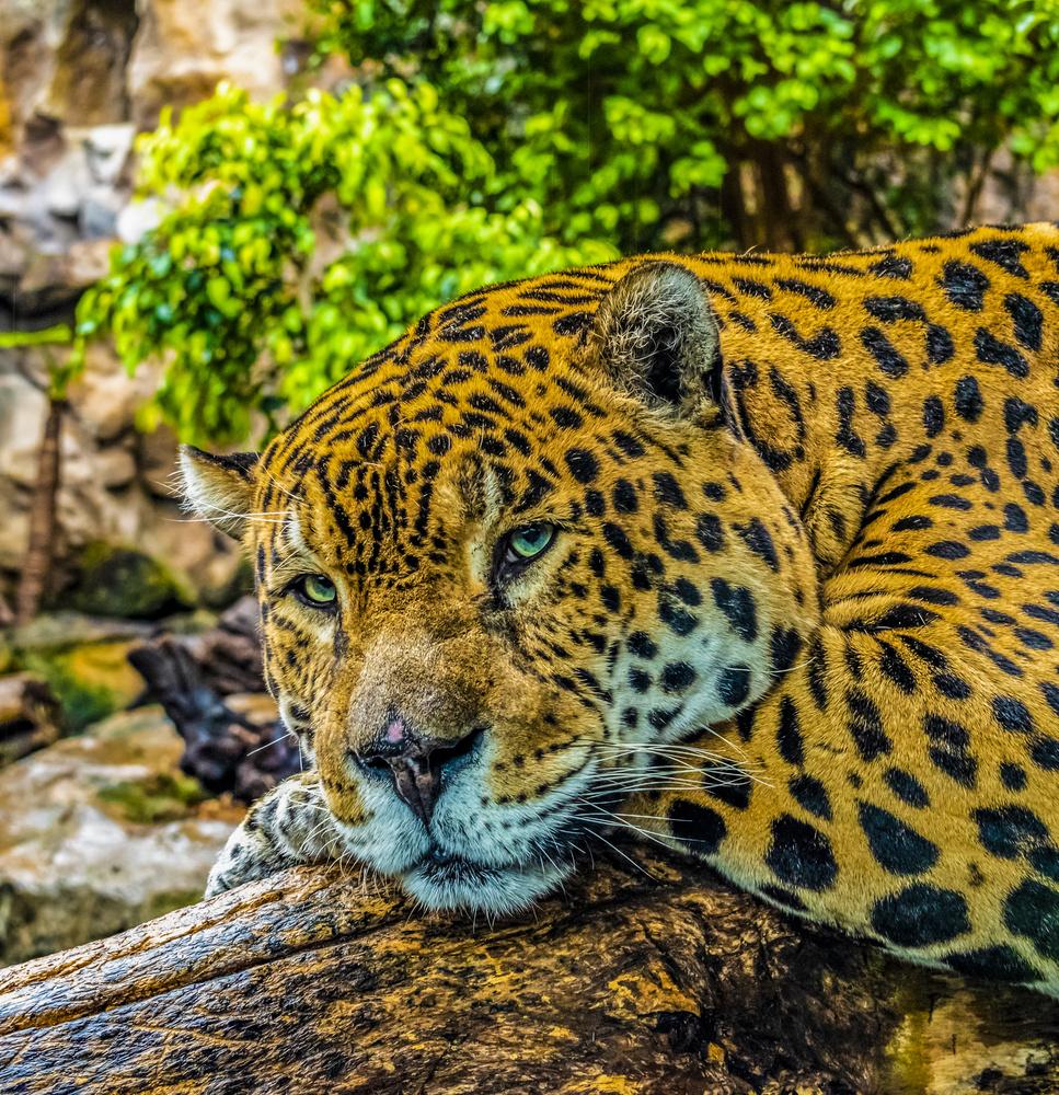 Jaguar Loro Park by Rastislav Piovarci