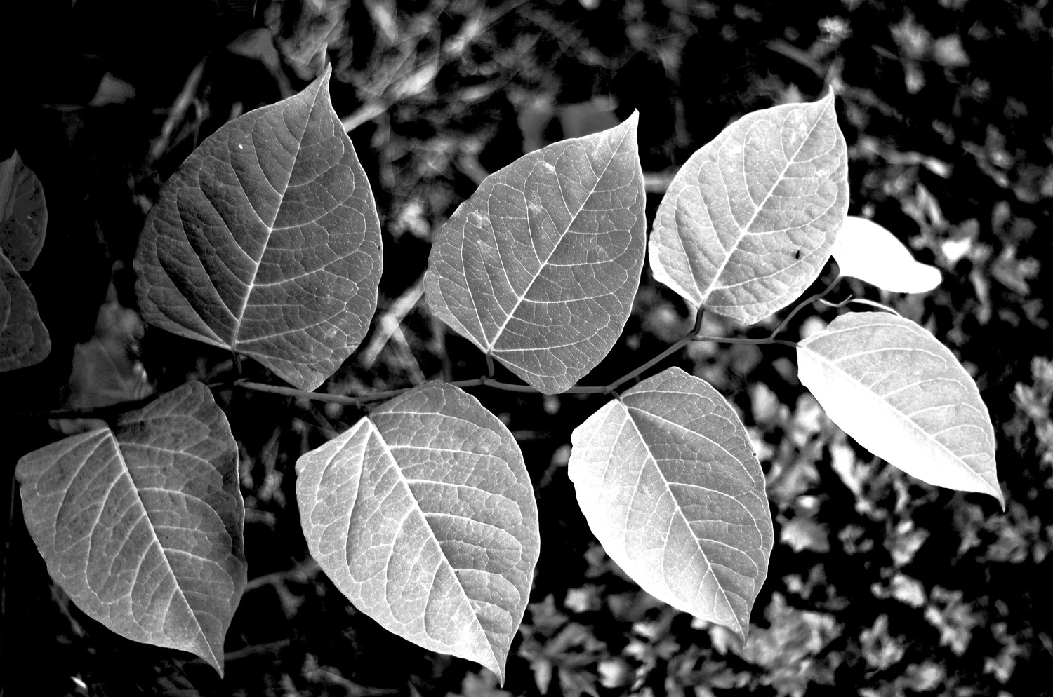 B&W Leaves in a Row by Reed Page
