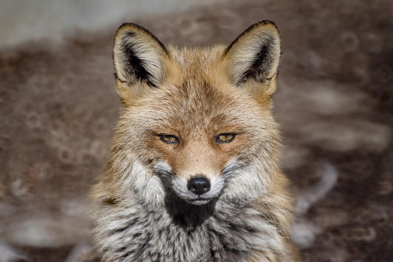 Fox by Ondřej Pollak