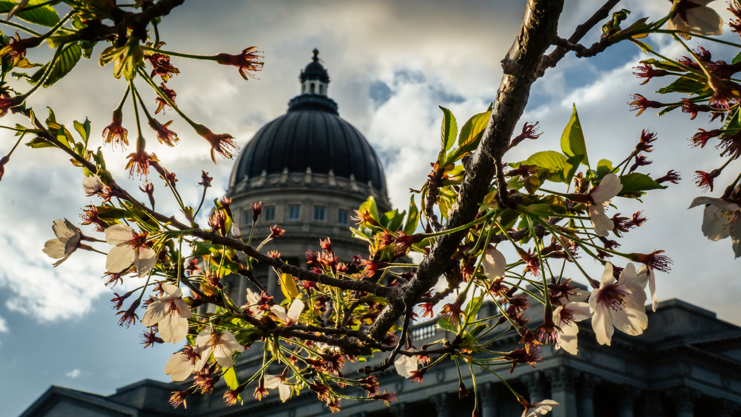 Utah Capital Cherry Blossoms by Cordell Hull