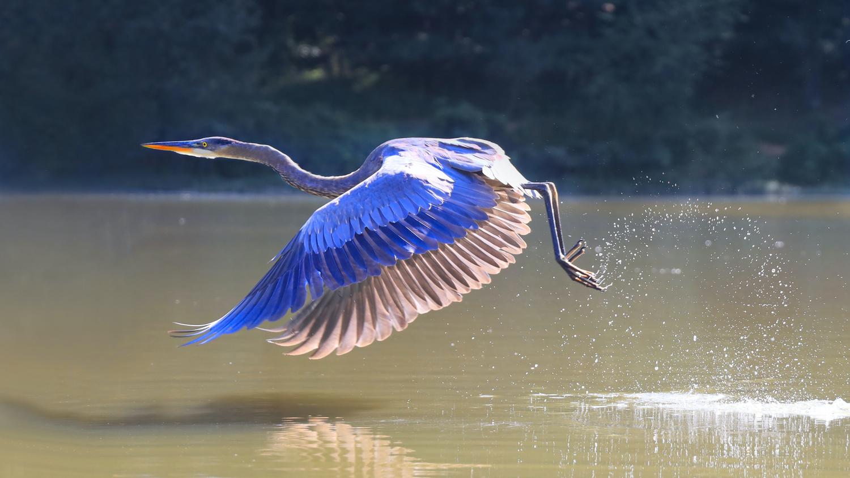 Great Blue Heron Take Off @ Candler Lake, Atlanta by James Mason