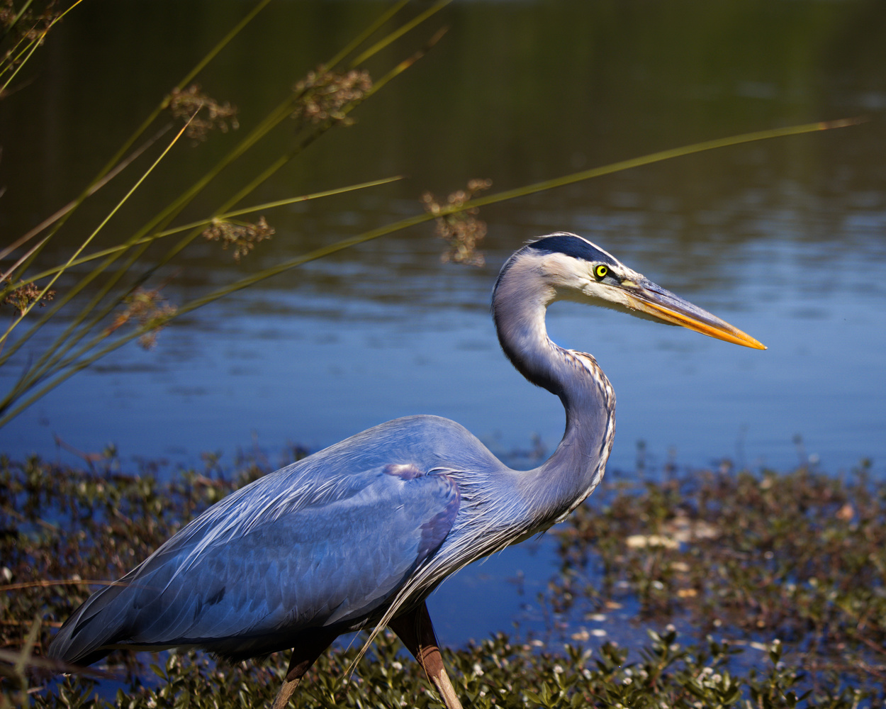 Heron in the Reeds by James Mason