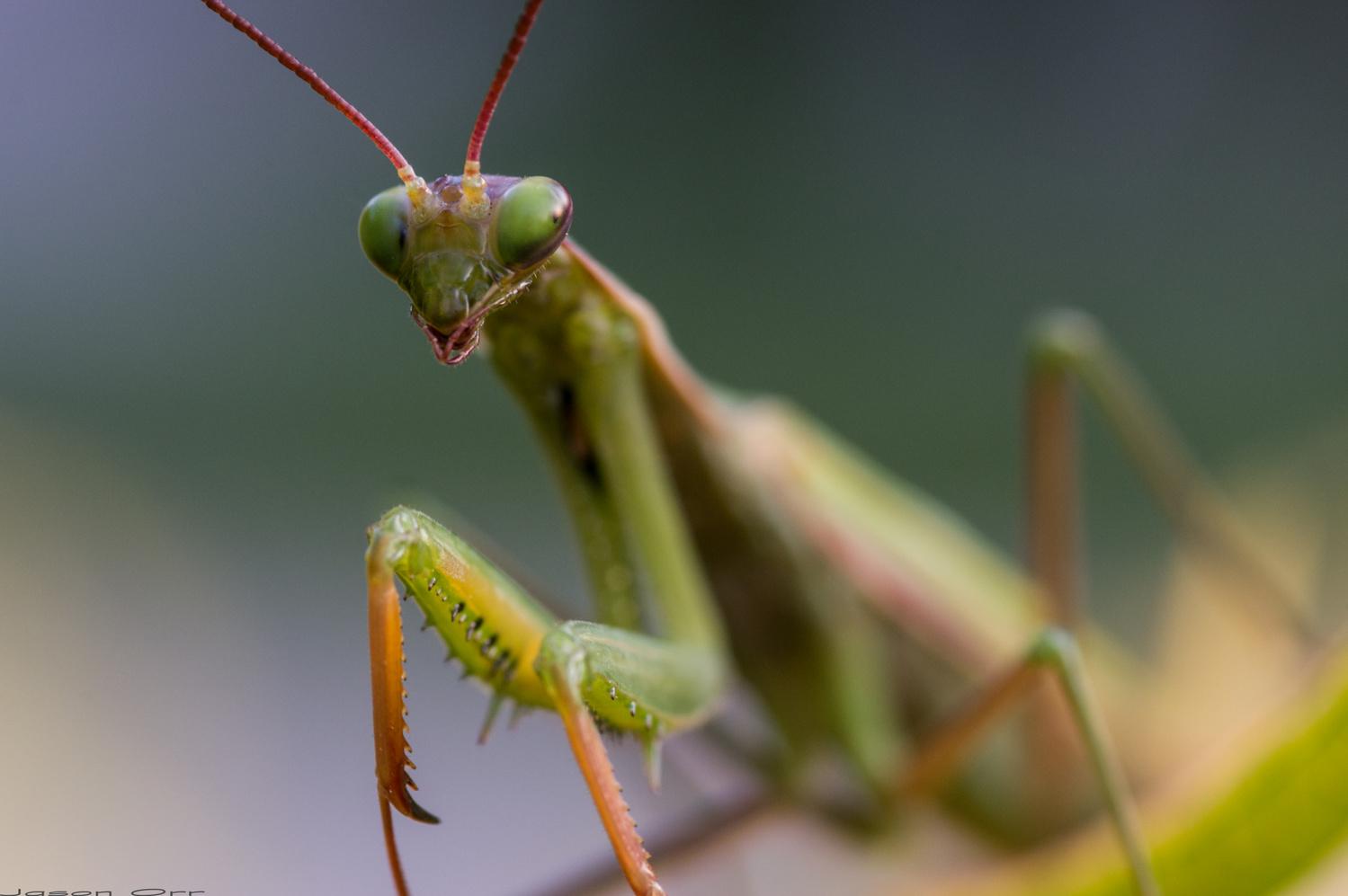 Mantis by Jason Orr