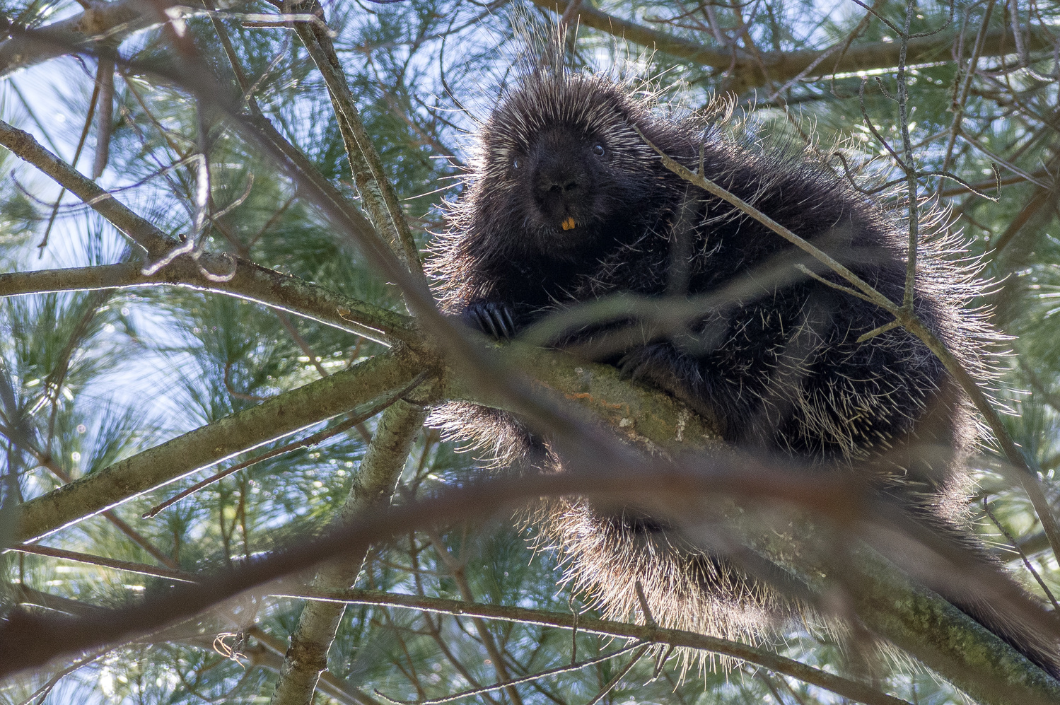 Porcupine by Jason Orr