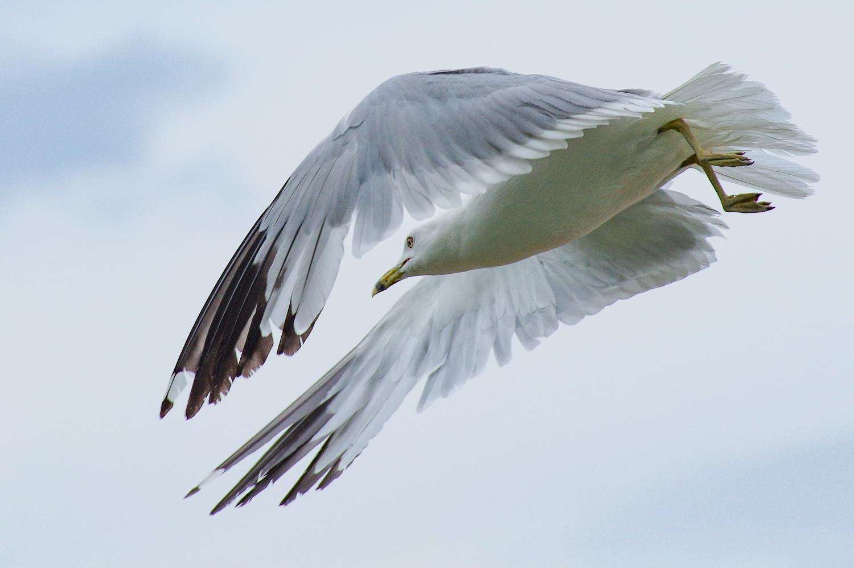 Gull by Jason Orr