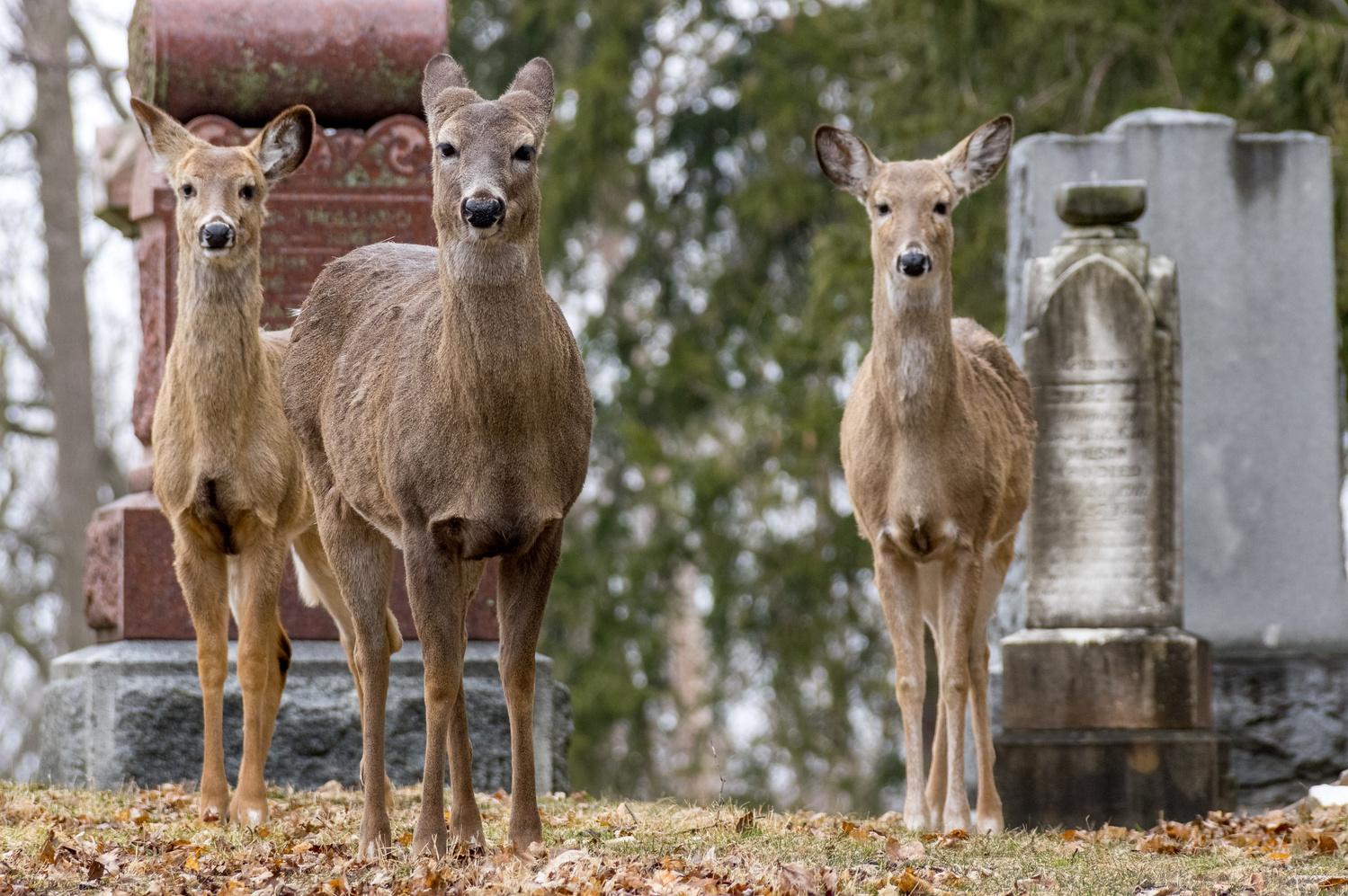 Deer in a graveyard by Jason Orr