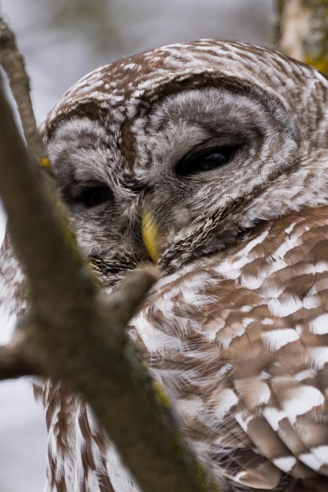 Barred Owl by Jason Orr