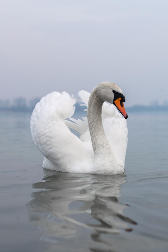 Swan on river Danube in Belgrade by Ognjen Petrović