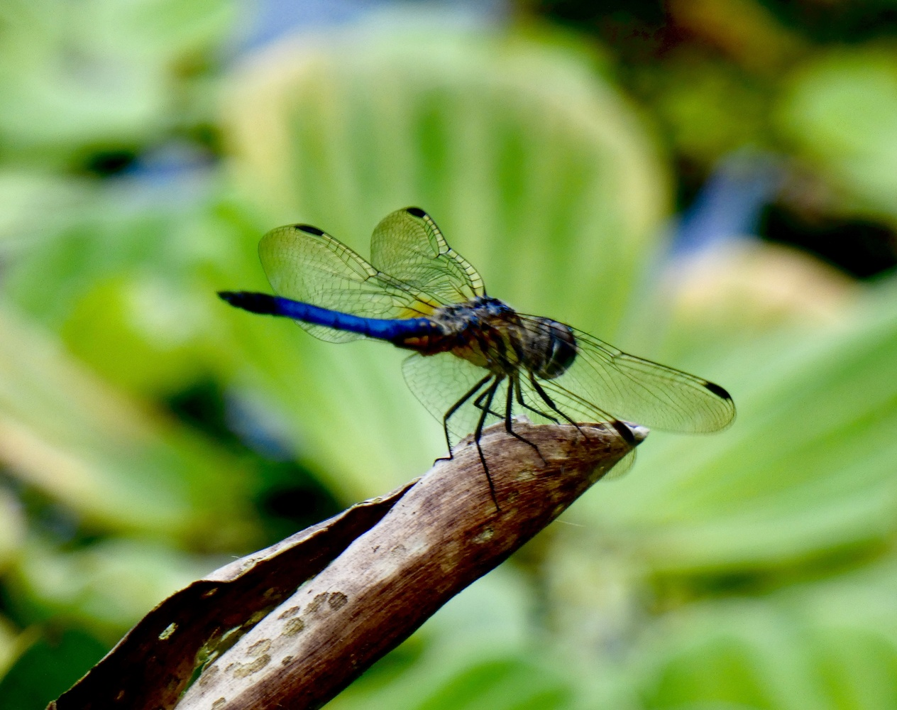Dragonfly over waterlilies. by Dayle Arceneaux