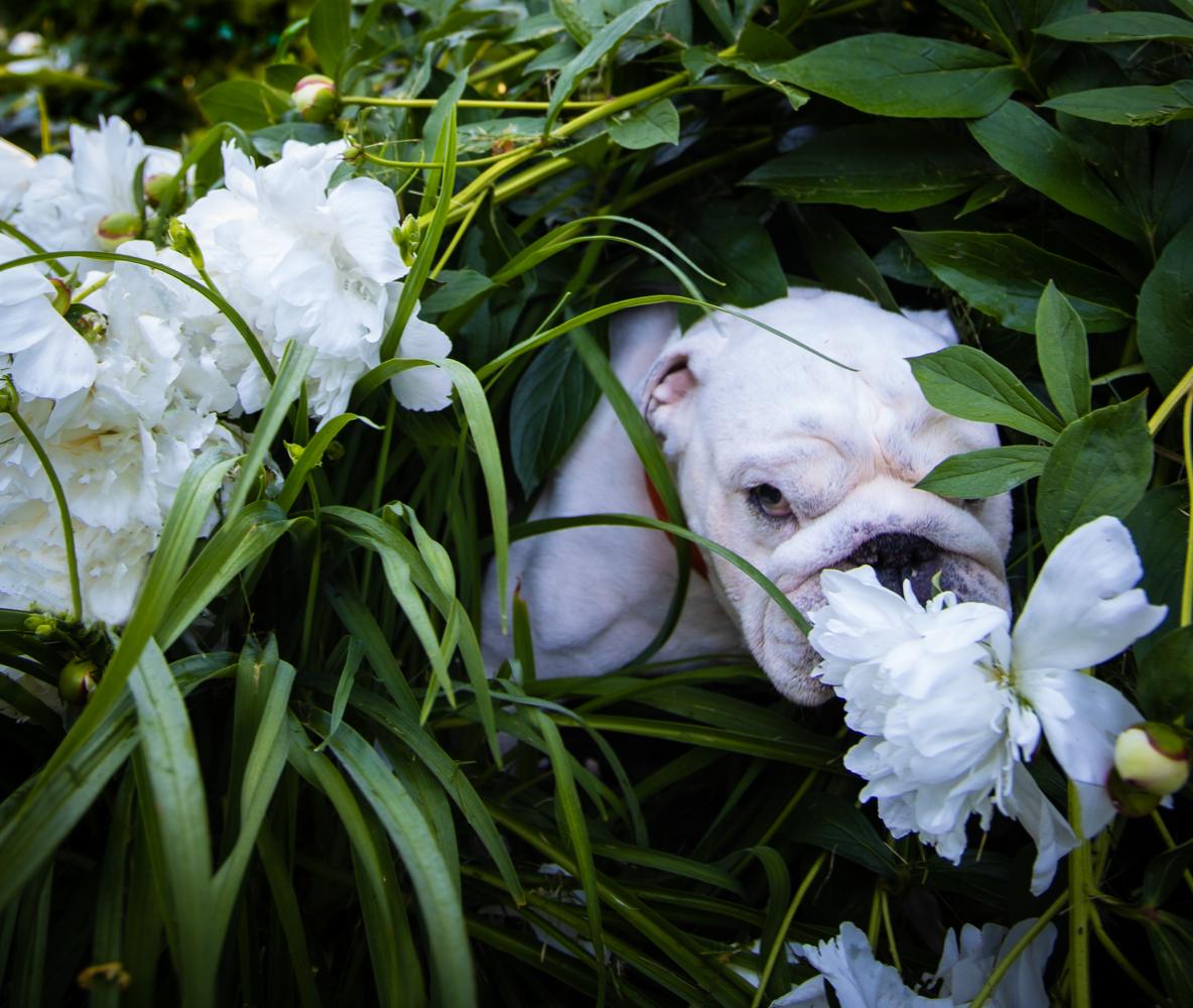 Pig in the peonies by Patrick Slatin