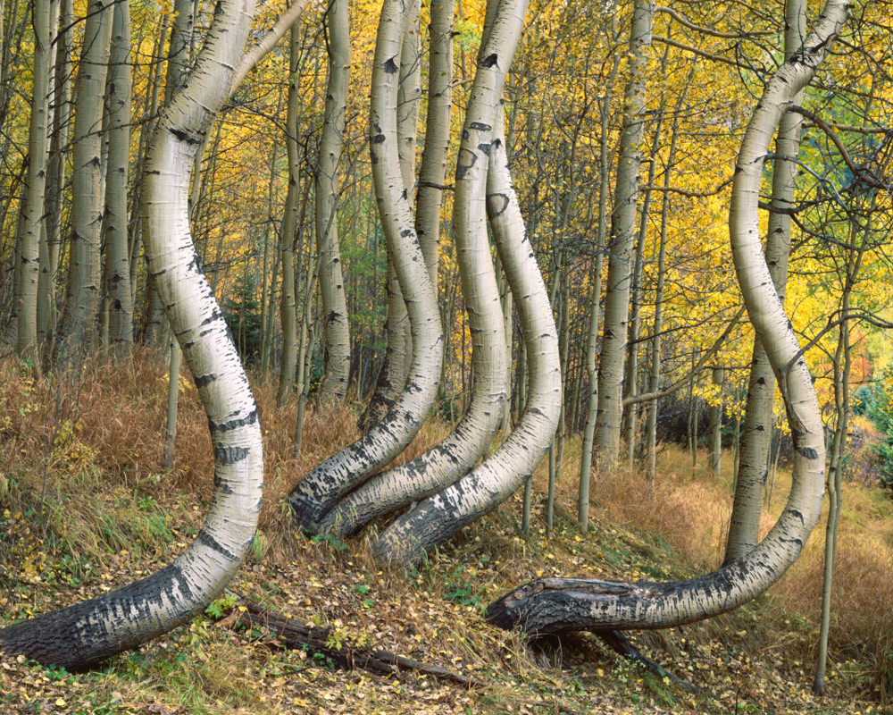 Curved Aspen by Marty Quinn