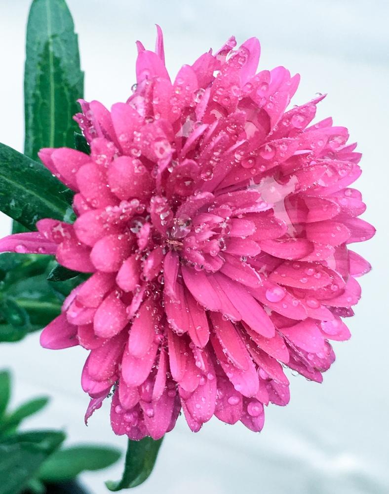 Chrysanthemum by Jo Martin