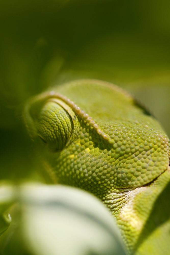 Chameleon by Anthony Hart