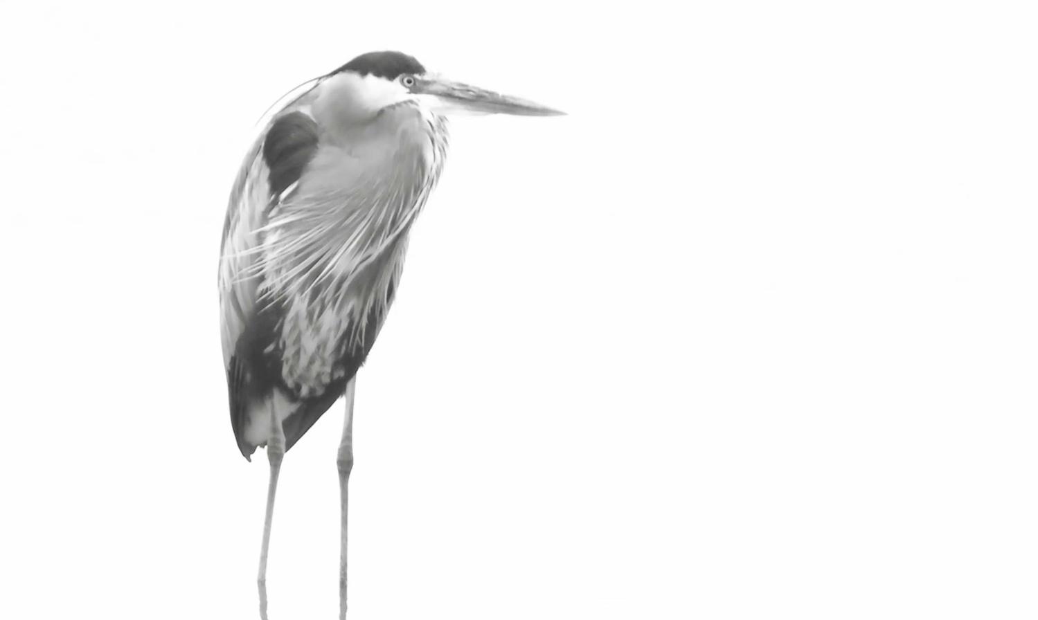Soft Heron by Ruth Carll