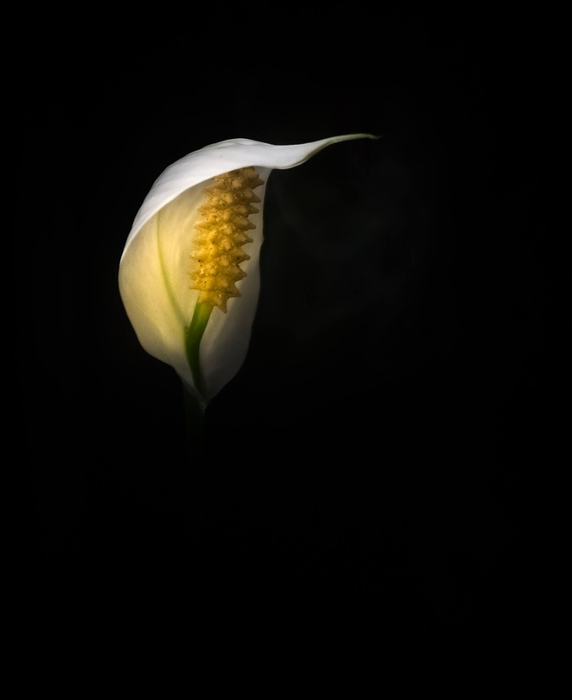 Spathaphyllum by Ruth Carll