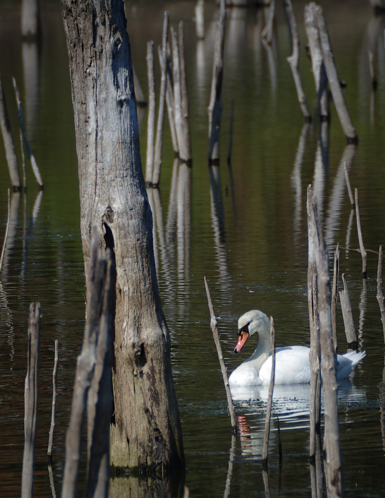 Swan in the Woods by Ruth Carll
