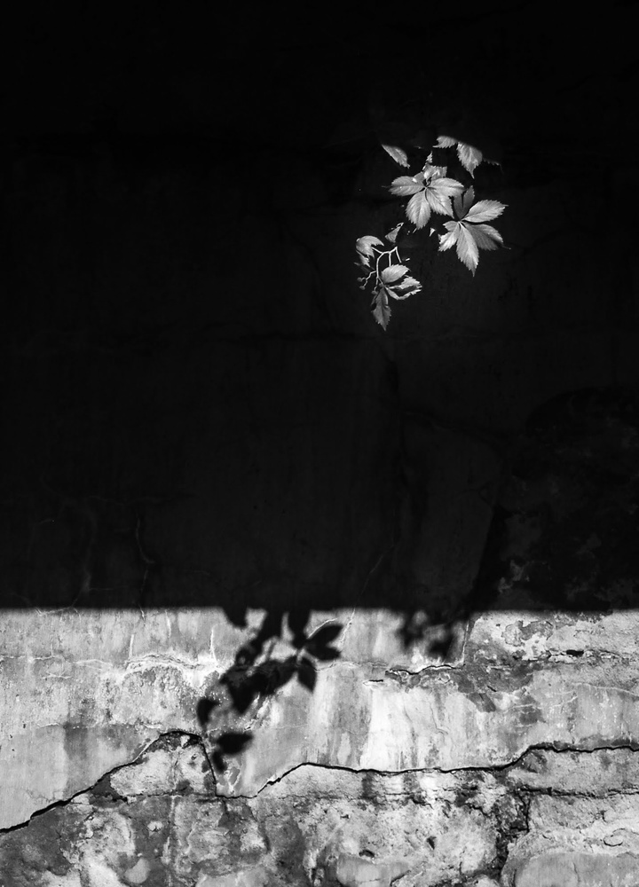 Vine and Shadow by Ruth Carll