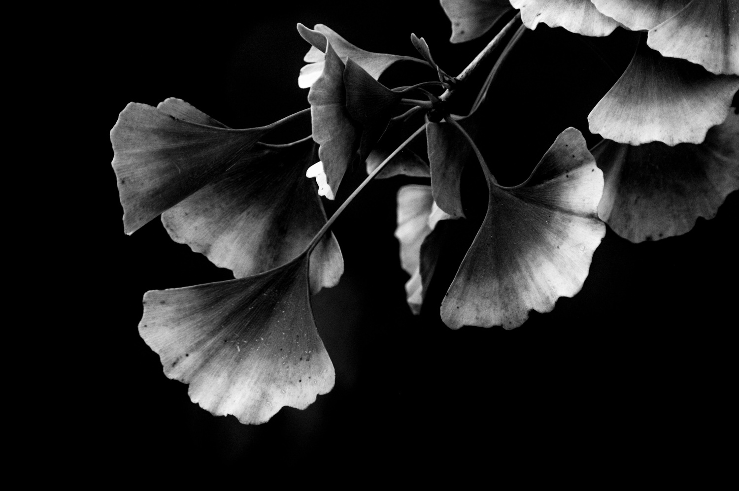 Ginko by Ruth Carll