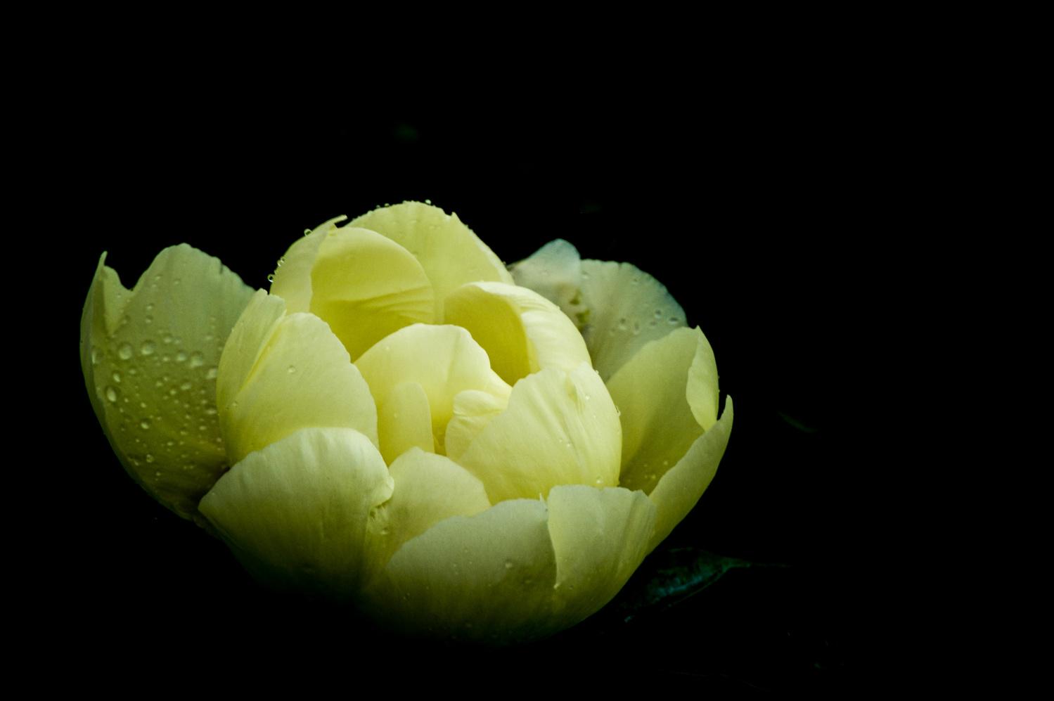Shaded Rose by Ruth Carll