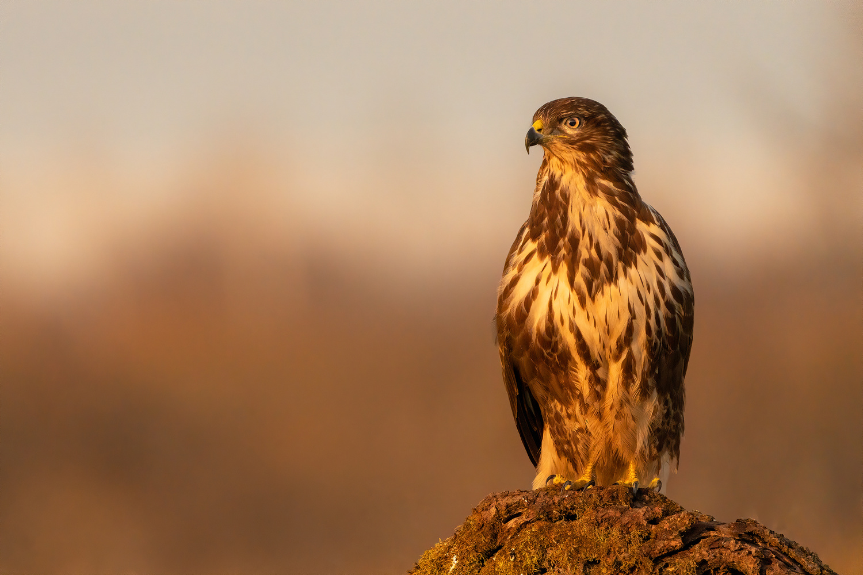 Common buzzard (Buteo buteo) by Danijel Turnšek