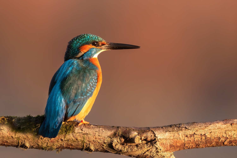 Common kingfisher (Alcedo atthis) by Danijel Turnšek