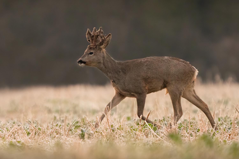 Roe buck (Capreolus capreolus) by Danijel Turnšek