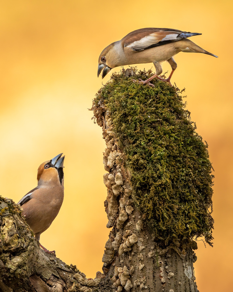 Hawfinch (Coccothraustes coccothraustes) by Danijel Turnšek