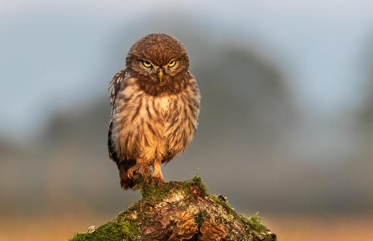 The little owl (Athene noctua) by Danijel Turnšek