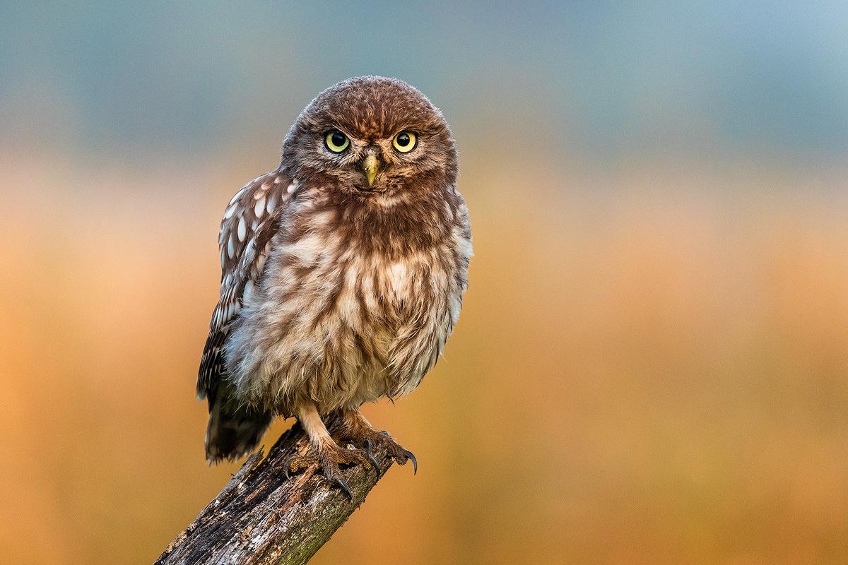 Little owl (Athene noctua) by Danijel Turnšek