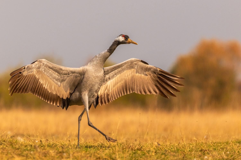 The Common crane (Grus grus) by Danijel Turnšek