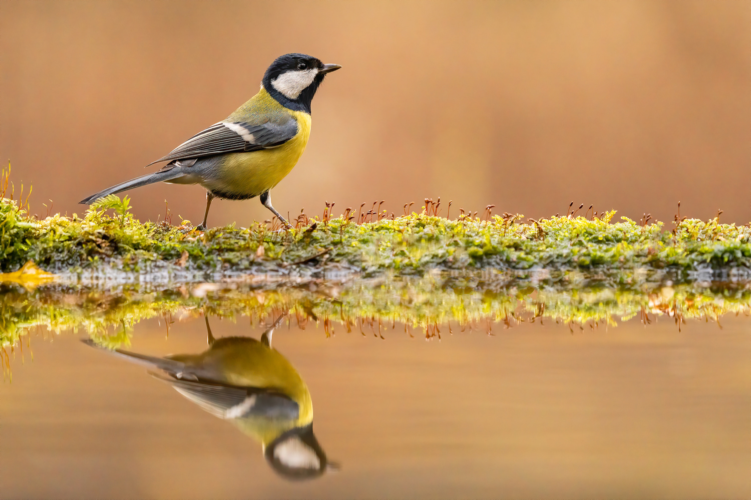 The great tit (Parus major) by Danijel Turnšek