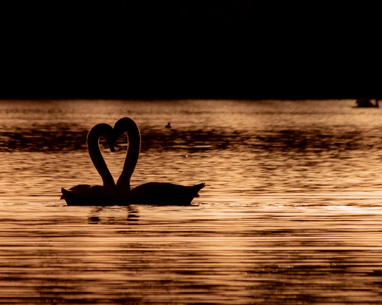 Swansheart by Felix Strutzke
