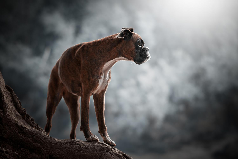 The great boxer by Tamás Szarka