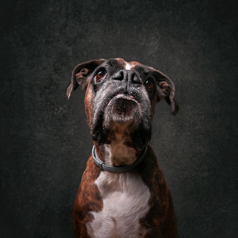 Boxer portrait by Tamás Szarka