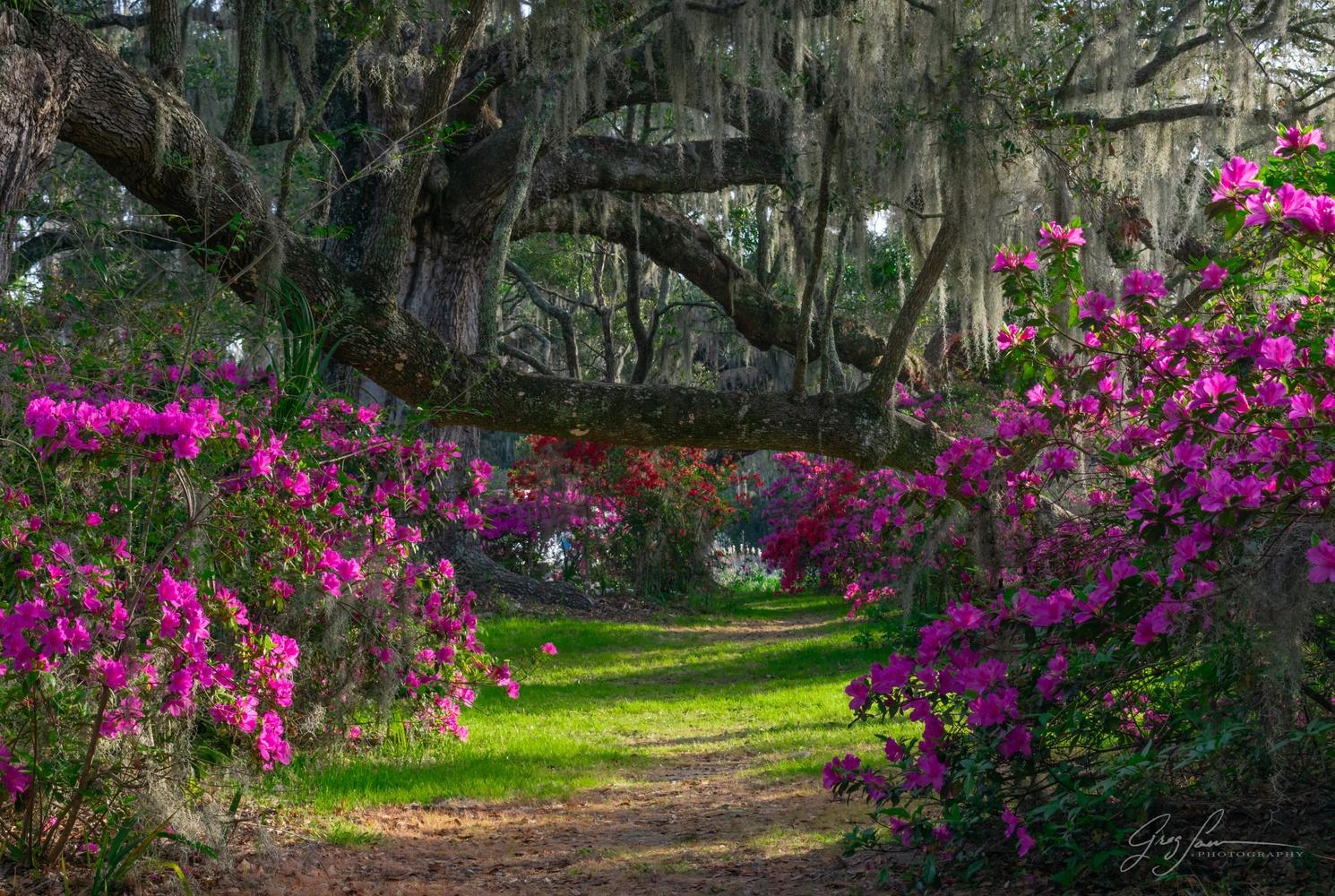 Azalea corridor by Greg Sarver