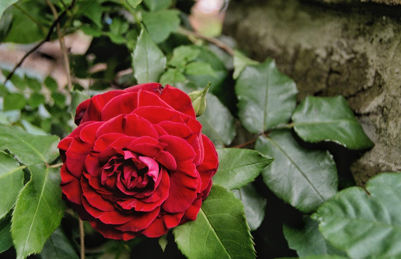Dark Rose by Garrett Cox
