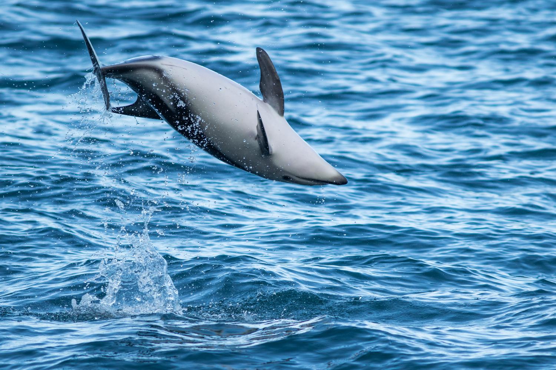 Dusky Dolphin by Alister winter