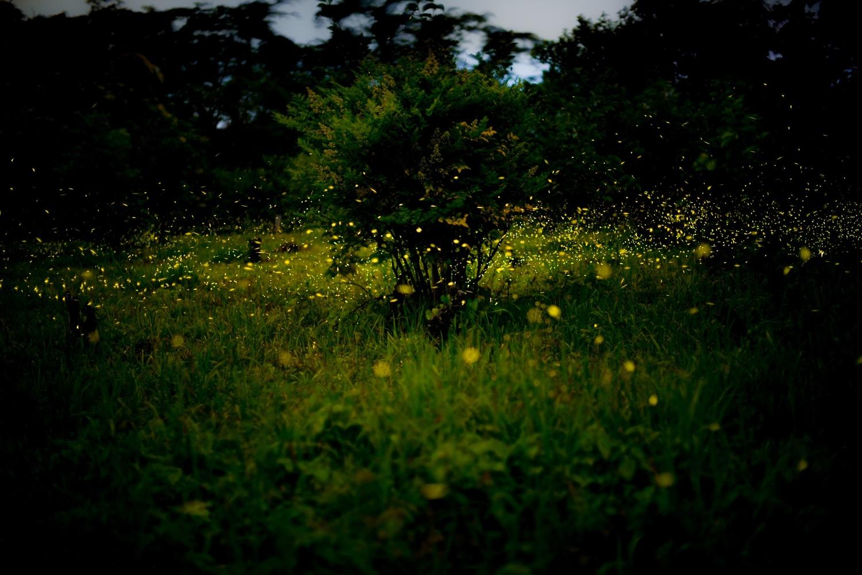 Firefly(Himebotaru) by Masataka Inada