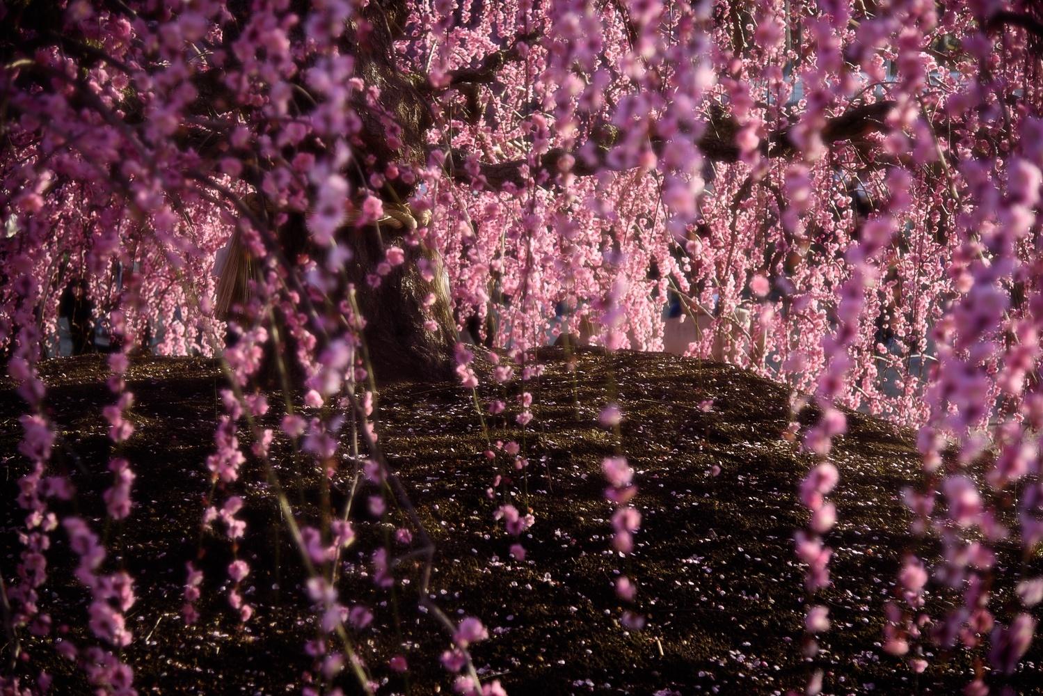 Plum flower shower by Masataka Inada