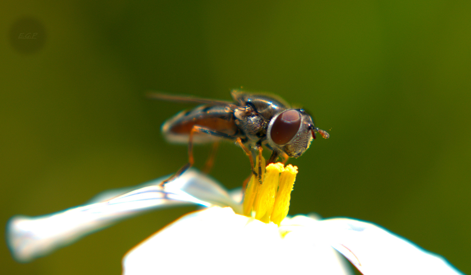 flower fly by Evan Graves