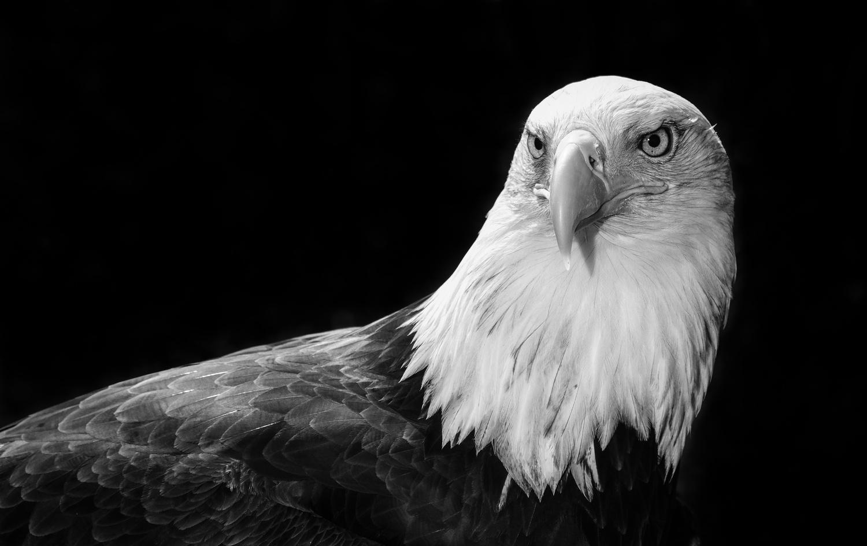 Bald Eagle by teun van dijk