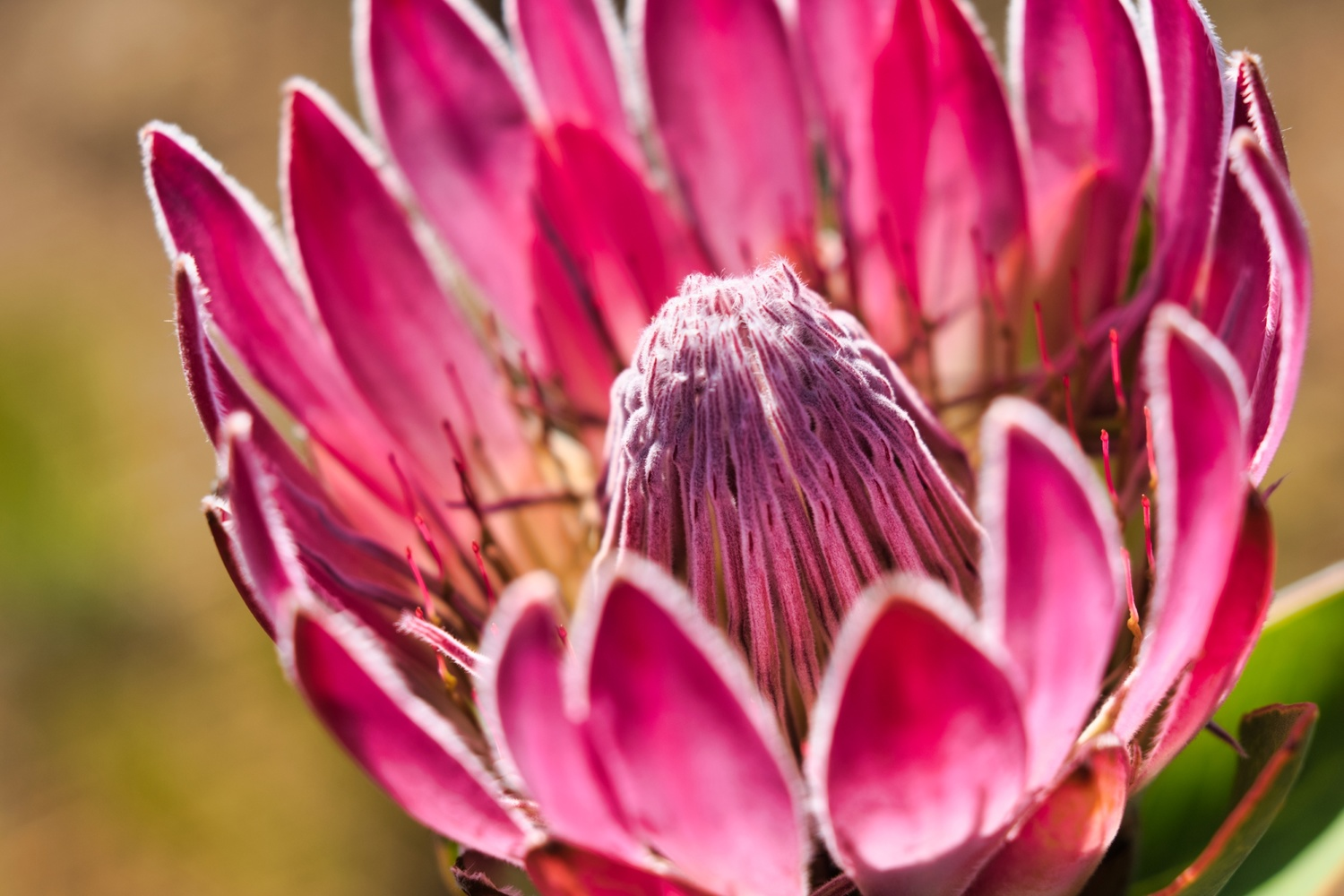 King Protea by Sam Fourie