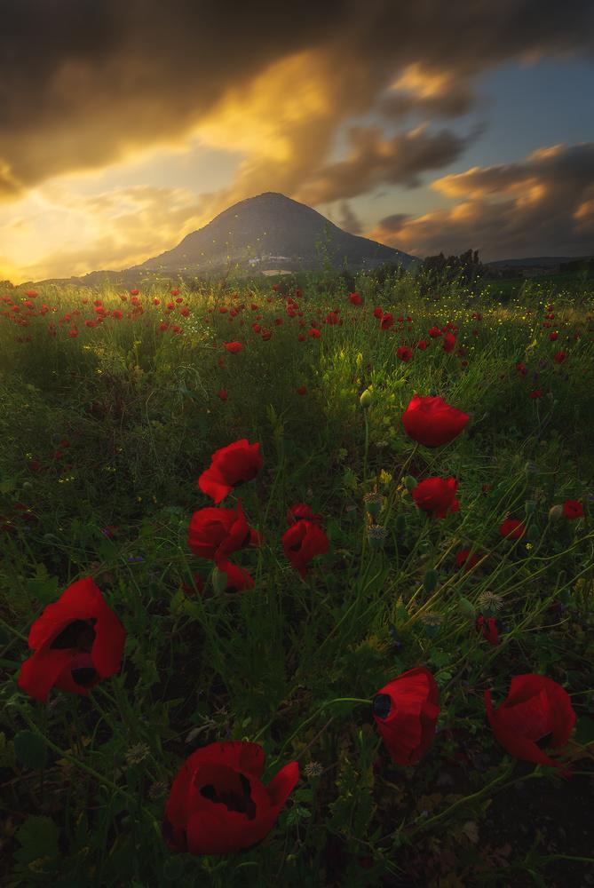 Poppies by Aharon Amram