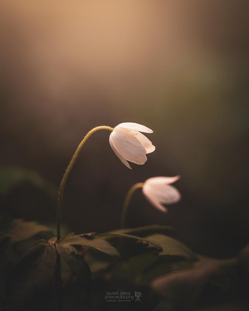 Wood Anemone by Daniel Frost
