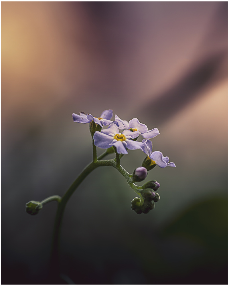 Forget Me Not 1 by Daniel Frost