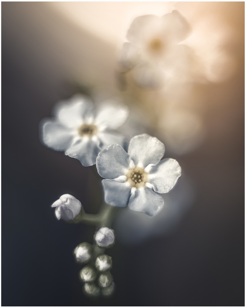 Forget Me Not 2 by Daniel Frost